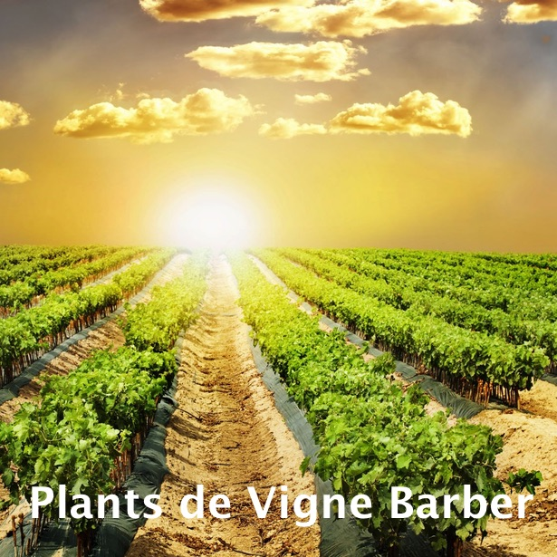 plants_de_vigne_barber